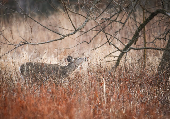 Young white-tailed deer munches on winter branches.
