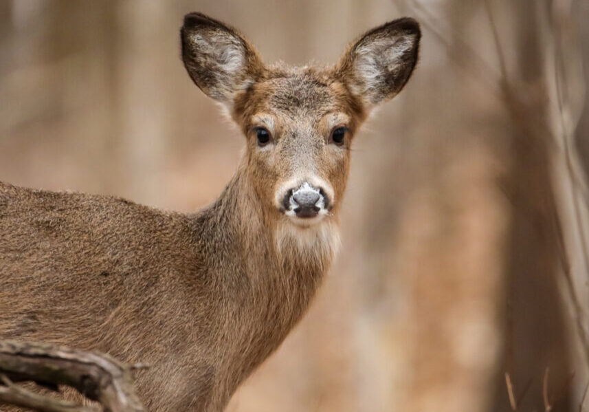Portrait of White-tailed deer