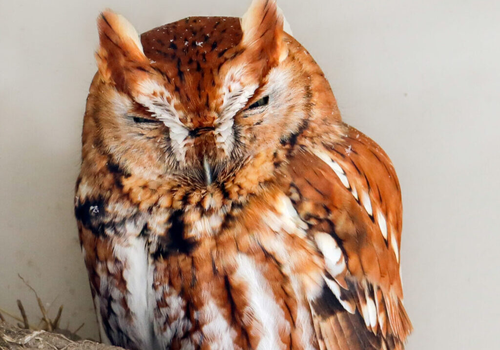 Eastern Screech Owl huddles away from the snow